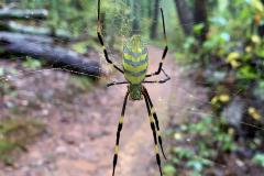 East Asian Joro Spider on Path
