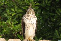 Hawk Eye Stares at Me