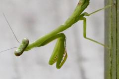 Praying Mantis Looks at Me