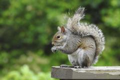 Squirrel Eats on Rail
