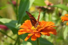 Orange Butterfly on Orange Flower 2
