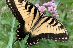 Swallowtail Butterfly Spreads its Wings