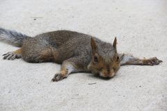 Squirrel Lays on Patio with Mouth Full