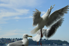 Seattle Seagull Catching French Fry