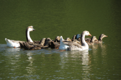 Ducks and Geese Swim Together