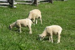 Three Sheep Grazing Grass