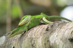 Lizards in Love Caught 3