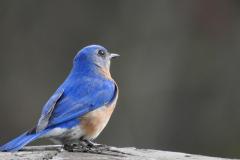 Do You Hear Me asks a Bluebird