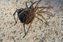 Wolf Spider Carries Babies 2