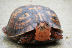 Turtle on Patio