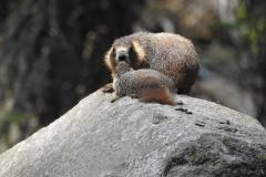Marmot Family on Rock 3