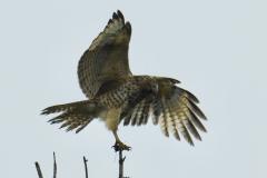 Hawk Lands on Branch