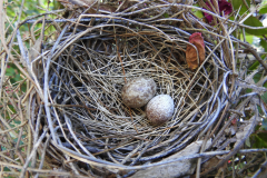 Brown Speckled Eggs in Nest