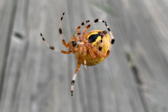 Marbled Orb Weaver Spider Hangs by a Thread