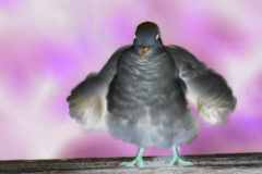 Ruffled Dove Feathers - Negative