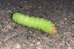 Green Opaque Polyphemus Moth Caterpillar