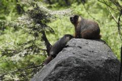 Marmot Family on Rock 2