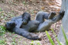 Gorilla Relaxes