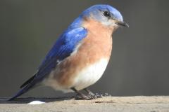 Pretty Bluebird Poses