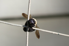 Clinging Bee