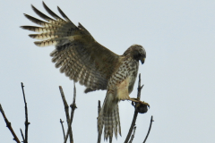 Hawk Spreads its Wings