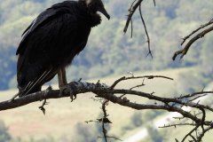 Vulture Looks over Valley 2