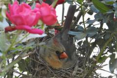 Mama Cardinal on Nest