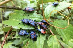 Harlequin Bugs On Leaf