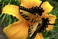 Swallowtail Butterfly in Yellow Flower