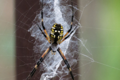 Orb Weaver Spider Web