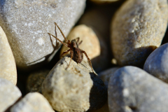 Jumping Spider on the Rocks