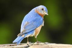 Bluebird Looks Back