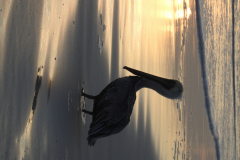 Pelican at Sunset 2