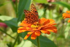 Orange Butterfly n Orange Flower 1
