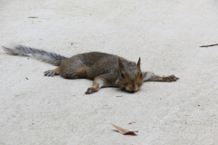 Squirrel Lays on Patio