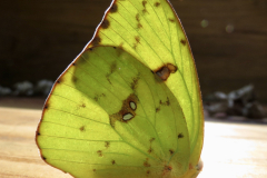Close-up of Yellow Butterfly Wings