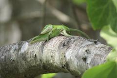 Lizards in Love Caught 1