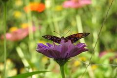 Orange Butterfly Lays on Purple Flower
