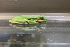 Frog Reflects on Glass