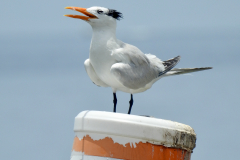 Seagull on a Buoy