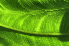 Green Leaf Veins Close-up