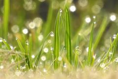 Dewdrops on Grass Glow