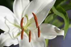 White Lily Close-up