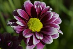 Purple Flower Green Disc Florets Close-up 1