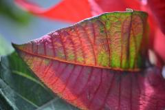 Poinsettia Leaf Colors