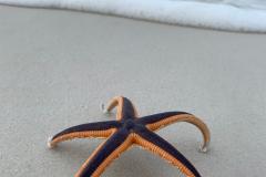 Standing Purple Starfish