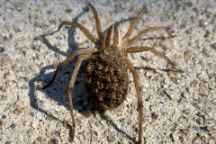 Wolf Spider Carries Babies