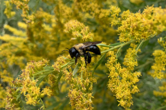 Clinging Bee on Yellow Flowers