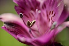 Purple Flower Pollen Close-up