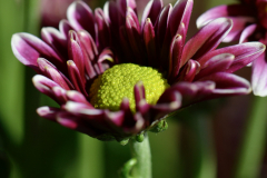 Purple Flower Green Disc Florets Close-up  3 - Vertical